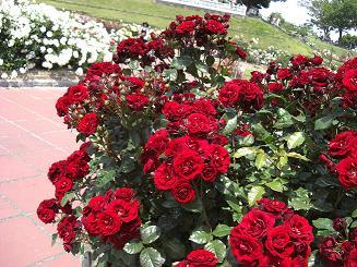 rose(red)