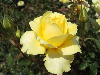 rose(yellow)