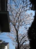 niwanosakura5310.jpg