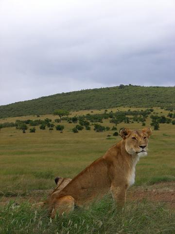 1 lion1