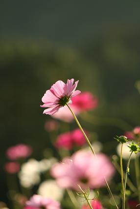 kosumosu4.jpg