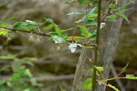 ナガバモミジイチゴ ( 長葉紅葉苺 )