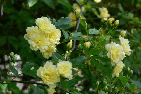モッコウバラ (木香薔薇)