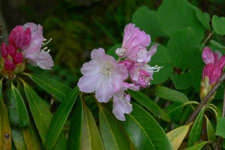 ツクシシャクナゲ (筑紫石楠花)