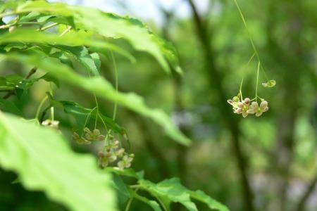 ツリバナ ( 吊花 )