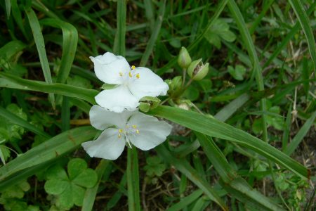 ムラサキツユクサ (白花) ( 紫露草 )