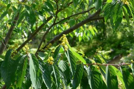 ヨコグラノキ ( 横倉の木 )