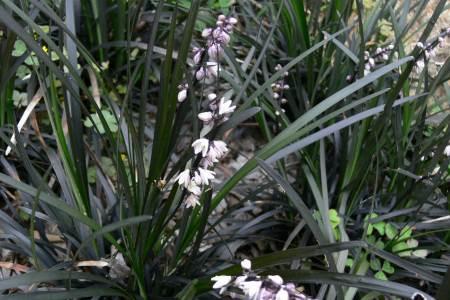 オオバジャノヒゲ ( 大葉蛇の髭 )
