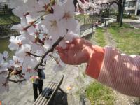 娘のお手手と桜