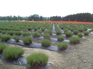 猪苗代ハーブ園のラベンダー畑とポピー畑