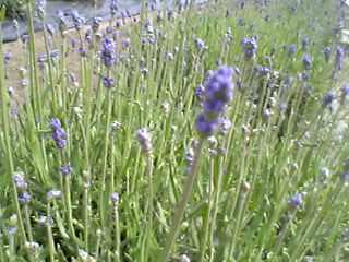 猪苗代ハーブ園のラベンダー畑