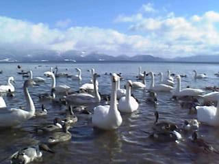 猪苗代湖:長浜、白鳥とカモいっぱい