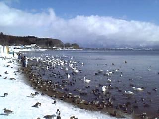猪苗代湖:長浜、白鳥とカモいっぱい。