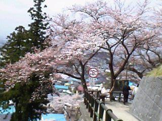 飯盛山の桜