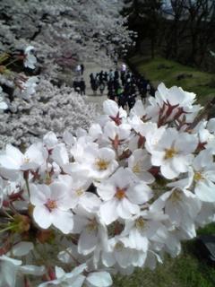 鶴ヶ城の桜、西出丸入口にて。