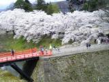 廊下橋と桜。