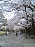 本丸周りの桜並木