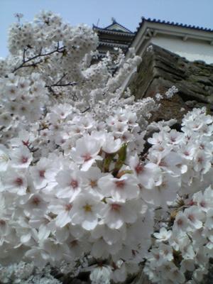 鶴ヶ城と桜。