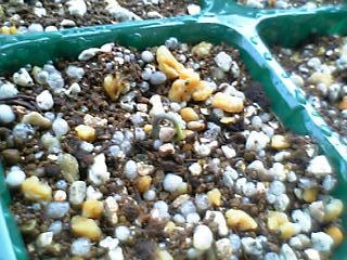 ハラペーニョの芽