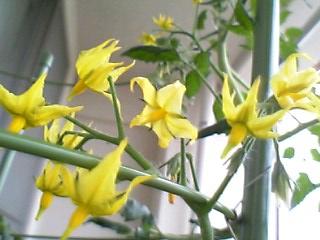 ミニトマト(スイートミニ イエロー)の花