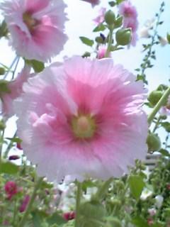 会津若松市の花:タチアオイ