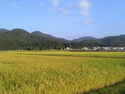 黄金色!稲のじゅうたん