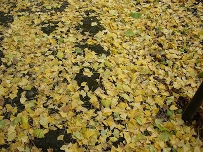 新宮熊野神社、大イチョウの葉