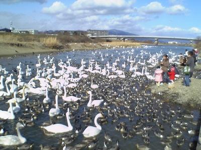 あぶくま親水公園の白鳥&カモ