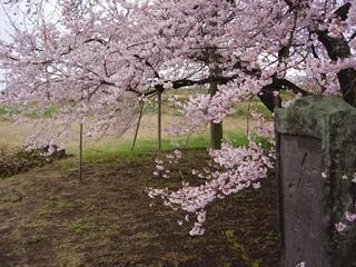 石部桜(会津五桜の一つ)