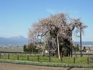 米沢の千歳桜と磐梯山