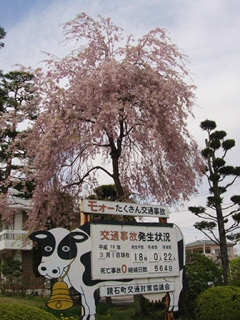 <strong>鏡石町役場</strong>の桜