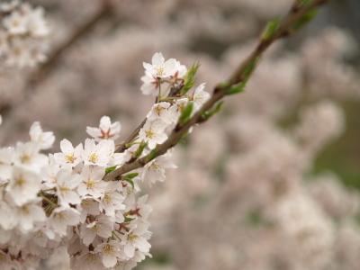 石部桜_2008/04/16