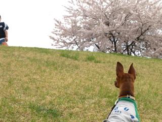 アクア@宮川の千本桜