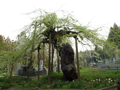 杉の糸桜(2008/04/22)