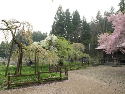 杉の糸桜とその子:会津枝垂れ(2008/04/22)