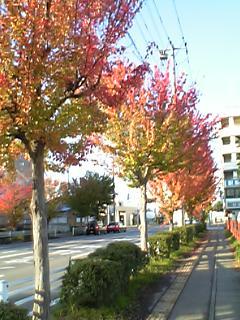 会津若松市、街路樹の紅葉
