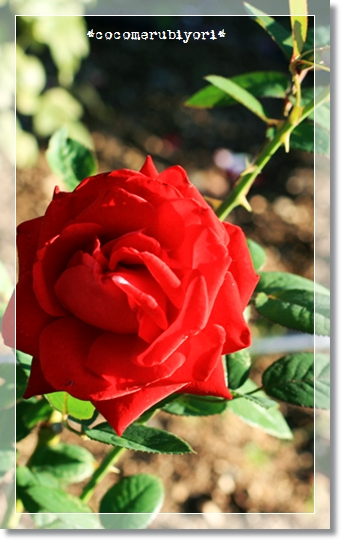 2008-10-02-rose-1.jpg
