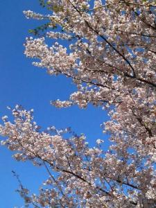 20090422桜