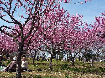 桃の花のお花見(2)