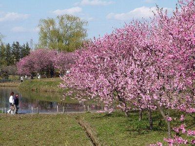 桃の花のお花見(1)