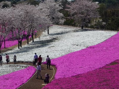 芝桜まつりへ行ってきました♪