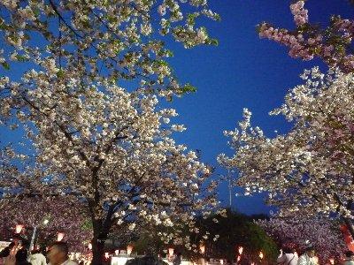 八重桜を見てきました~♪
