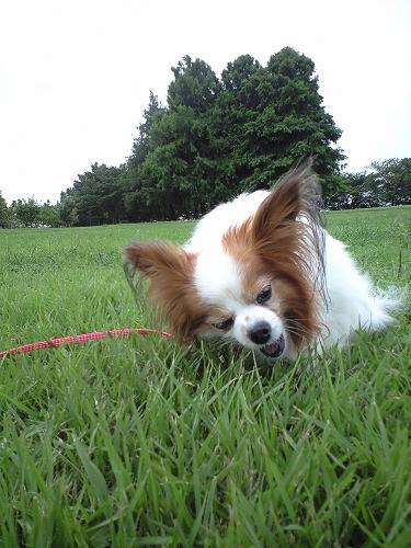 芝生はけっこう固そうなのに・・・食ってる・・・