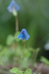 blueclover418-1a.jpg