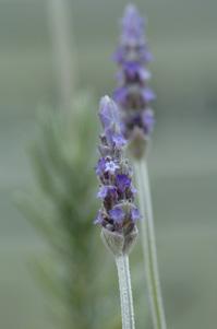 lavender407a.jpg
