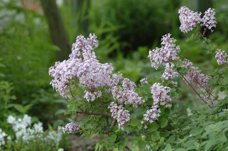 lilac2008506-4.jpg