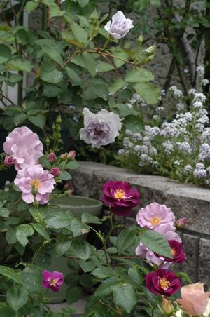 purpleroses2008514-1.jpg