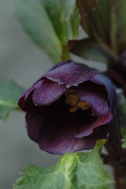 purpleshade310-6a.jpg