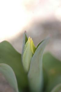 tulip320-1.jpg