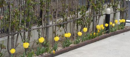 tulip409-4.jpg